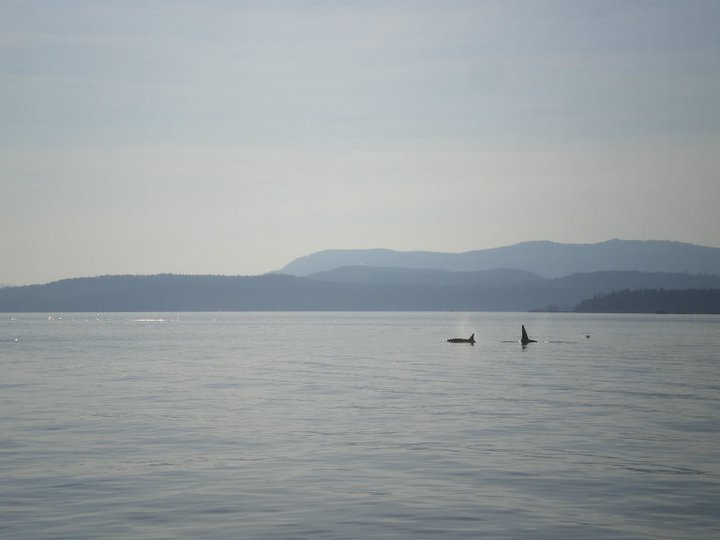 Orcas in the Gulf Islands